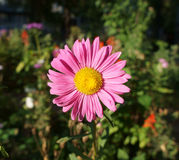 One pink aster callistephus with yellow center flower on a sunny Stock Photography