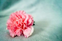 One pink carnation on blanket so beautiful and soft. One pink carnation on a gray blanket so beautiful and soft Stock Photos