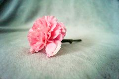 One pink carnation on blanket so beautiful and soft. One pink carnation on a gray blanket so beautiful and soft Stock Photo