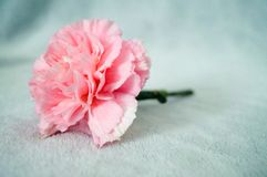 One pink carnation on blanket so beautiful and soft. One pink carnation on a gray blanket so beautiful and soft Royalty Free Stock Image