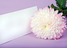One pink chrysanthemum and postcard Stock Photo