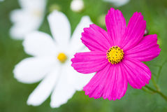 One pink cosmos Royalty Free Stock Image