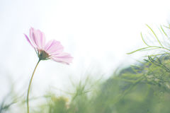 One pink cosmos flower with soft focus in the garden with blurry green leaf Stock Photography