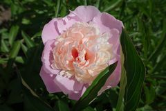 One pink double peony flower Royalty Free Stock Photos