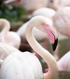 One pink flamingo closeup Stock Photos