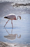 One pink flamingo in the Hedionda lagoon and its reflection in w Royalty Free Stock Photography