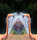Pink Flamingos and Water Fountain royalty free stock photo