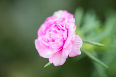 One pink flower. In garden Royalty Free Stock Photo