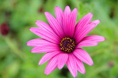 One pink flower on green background. One pink flower close up on blurred green background Royalty Free Stock Photos