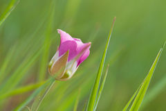 One Pink Flower Royalty Free Stock Photography