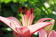 One pink lily Stock Photography