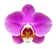 One Pink Orchid Isolated Stock Photos