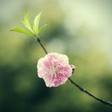 One pink peach blossom Royalty Free Stock Photo