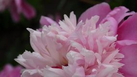 One pink peony flower close up on the flowerbed motion on the wind. HD video footage static camera. stock footage