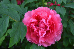 One pink peony flower with green leaves Royalty Free Stock Photography