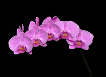 One pink phalaenopsis on black background. One pink orchid phalaenopsis on black background Royalty Free Stock Image