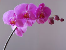 One pink phalaenopsis on grey. One pink orchid phalaenopsis on grey Royalty Free Stock Image