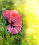 One pink poppy on bokeh background. Stock Images
