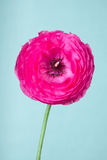 One pink ranunculus flower Royalty Free Stock Photography