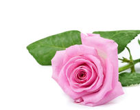 One pink rose Royalty Free Stock Photos