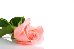 One pink rose Royalty Free Stock Images