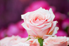 One pink rose above Royalty Free Stock Photos