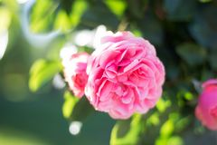 One pink rose on branch. Bright lonely rose, free space royalty free stock photo