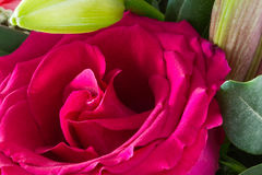 One pink rose and bud close-up Royalty Free Stock Image
