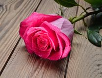 One Pink rose in the drops of water close-up on a wooden table. Holland rose. Romantic gift on the first date.  Stock Photos