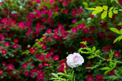 One Pink Rose. On Garden Background Stock Photos