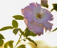 One pink rose macro closeup stock photo