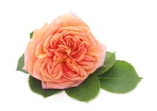 One pink rose. royalty free stock images