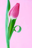 One pink tulip Royalty Free Stock Photography