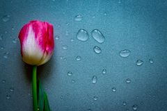 One pink tulip flower on grey neutral background with waterdrops. Copy space. Womens, mothers, valentines stock images