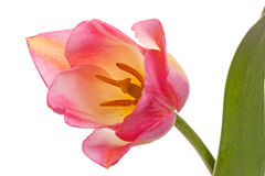 One pink tulip Stock Photo