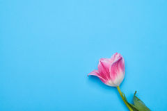Only one pink tulip isolated over blue flatlay Stock Photography