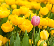 One pink tulip standing out from many yellow ones. Individuality concept Stock Image