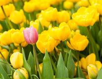 One pink tulip standing out from many yellow ones. Individuality concept Royalty Free Stock Image