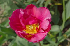 One pink tulps in garden Royalty Free Stock Photography