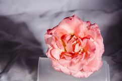 One pink and whit rose on a stand. A rose is a woody perennial flowering plant of the genus Rosa, in the family Rosaceae, or the flower it bears. There are over stock image