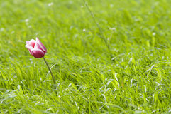 One pink and white tulip Royalty Free Stock Photo