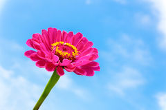One pink Zinnia flower on stem with blue sky Royalty Free Stock Photo