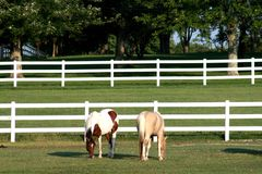 One pinto and one palomino horses. Two horses, one pinto and one palomino horses in the field grazing with white fence in the background Stock Image