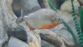 One piranha swimming in the freshwater aquarium stock video footage