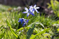 One plant Scilla siberica, early spring blue flowers in bloom in the grass. One plant Scilla siberica, early spring blue flowers in bloom in the gardens lawn Stock Photo