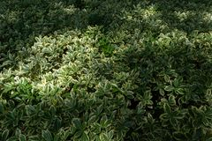 Buxus megistophylla Royalty Free Stock Photography