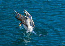 One playful Seagull Stock Photo