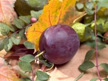 One plum Stock Images