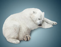 One polar bear royalty free stock photo