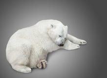 One polar bear stock photography